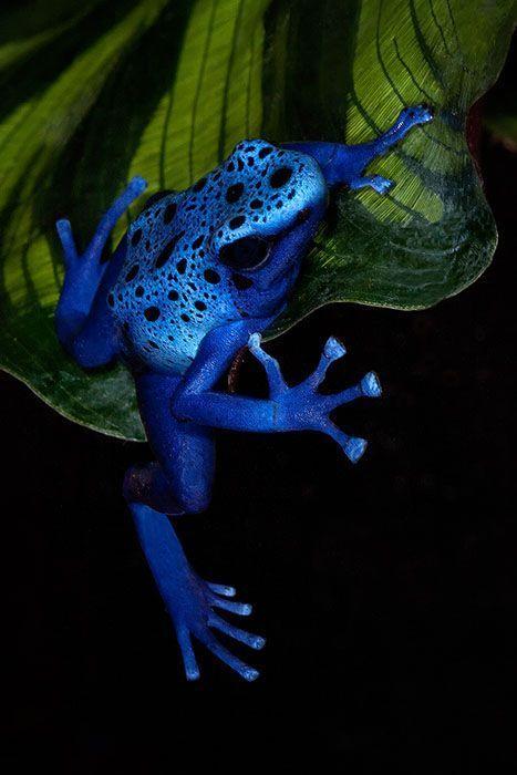 Blue Poison Dart Frog (Dendrobates Azureus) dangling from a leaf ~ © by Ken Koskela