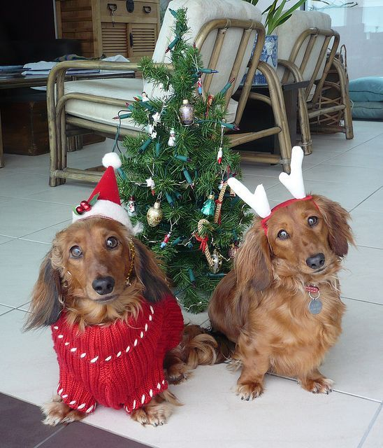 the worlds cutiest dog? | Worlds cutest Christmas dogs | Flickr - Photo Sharing! ___ Dogs Lover?? Visit our website now! :-)