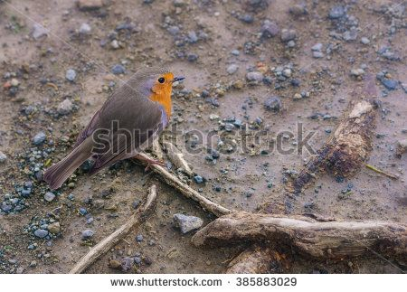 The European robin (Erithacus rubecula), small bird with an orange breast and face lined with grey, photo when searching for food on the gray ground with small stones and tree roots.