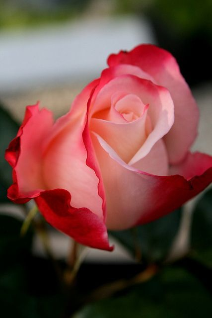 flowersgardenlove:  Stunning Rose Beautiful  It matters not how many times you see them  They just have this ability every time, to open the heart anew
