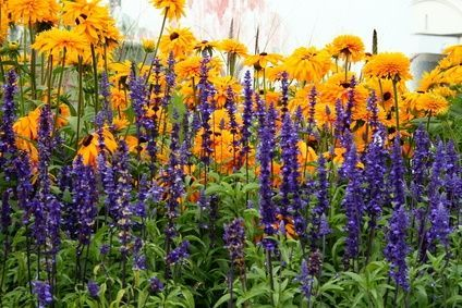 photos of full sun perennial flower beds | Rudbeckia and lavendar stand tall in the full sun garden.