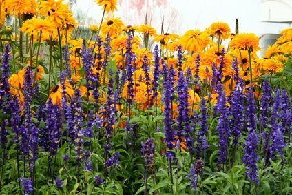 photos of full sun perennial flower beds | Rudbeckia and lavendar stand tall in the full sun garden.