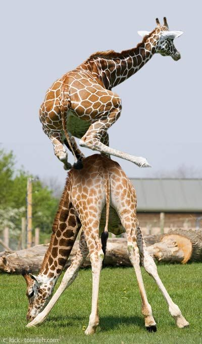 """""""No Brakes!"""" One is inclined to have to climb over one's playmate if one does not know how to slow down yet, as these are both young giraffes. They do funny stuff! http://www.ebay.com/usr/debsshirtopia"""