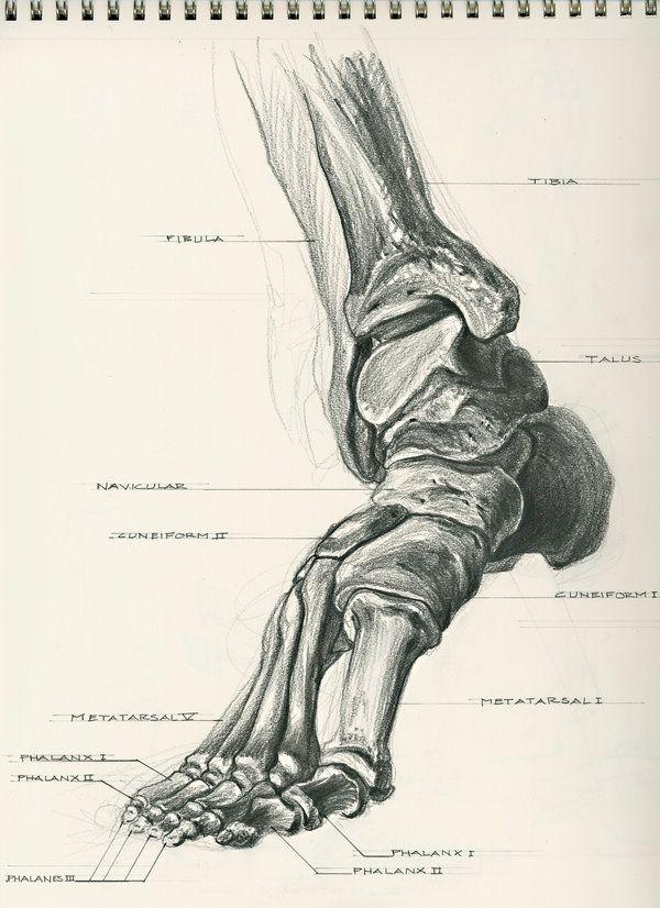 48 besten Drawing Tutorials: The human skeleton system - Human ...