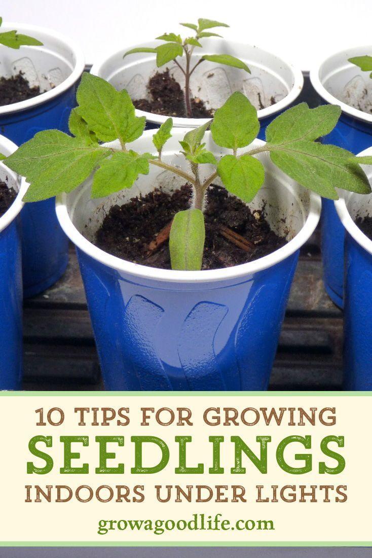 10 Steps To Starting Seedlings Indoors In 2020 Growing Seedlings