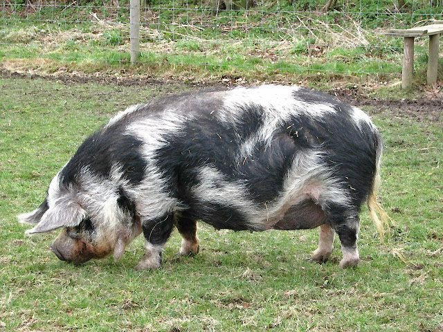 """The kunekune is believed to have descended from an Asian domestic breed introduced to New Zealand in the early 19th century by whalers or traders. They differ markedly from the feral pig of European origin known in New Zealand as a """"Captain Cooker"""""""
