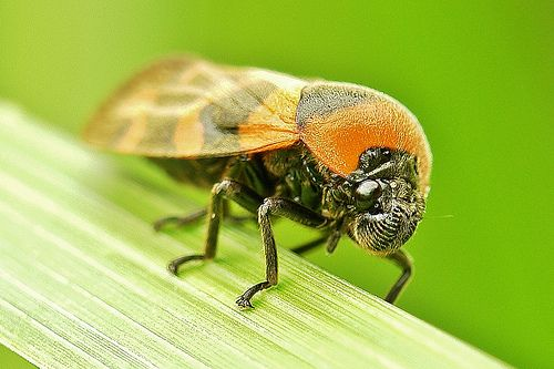 Froghopper (Cosmoscarta) | Flickr - Photo Sharing!