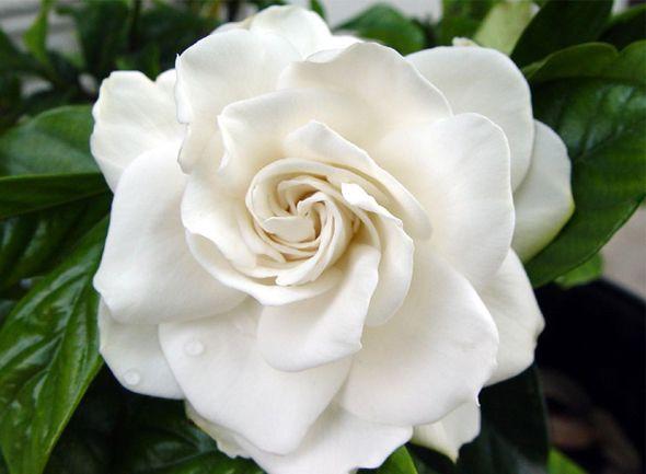 flor-Gardênia