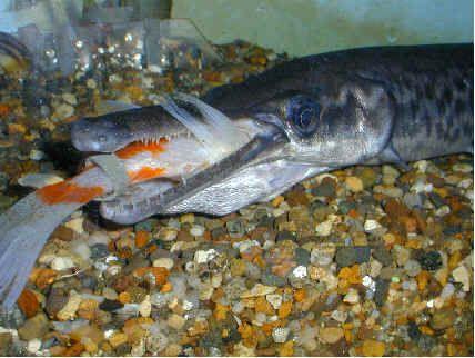 how to cook alligator gar fish