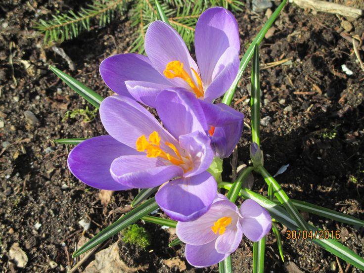 Kevään krookukset