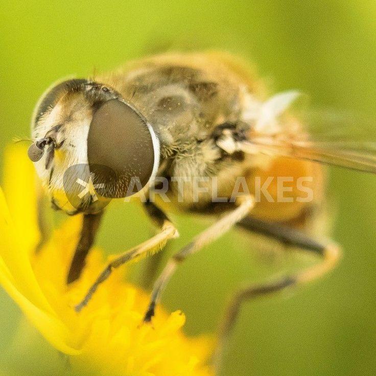 """""""Schwebfliege auf gelber Wiesenblume"""" Fotografie als Poster und Kunstdruck von toeffelshop bestellen. - ARTFLAKES.COM"""