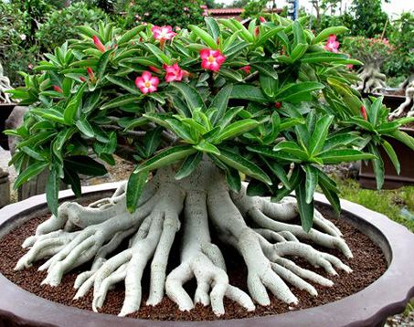 Golden Crown Adenium Arabicum Thai Soco | Adenium Thai Socotranum (Desert Rose) contain 4 types each 5 seeds