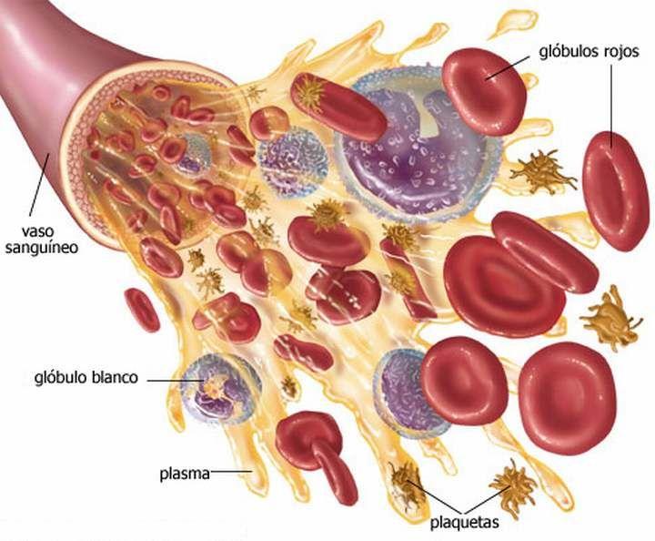 El plasma sanguíneo contiene numerosas sustancias, aunque el agua representa más del 90% de su masa. En mamíferos a las proteínas plasmáticas corresponde entre un 6% y un 8%, mientras que las sustancias inorgánicas (Na+ y Cl–, principalmente) no son más del 1%. El resto corresponde a nutrientes (glucosa, aminoácidos, lípidos y vitaminas), restos nitrogenados, gases (O … Seguir leyendo