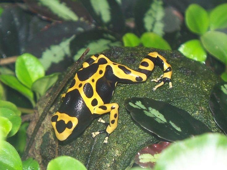 http://faaxaal.forumgratuit.ca/t2560-photos-d-amphibiens-dendrobate-jaguar-rainette-jaguar-grenouille-tueuse-grenouille-veneneuse-dendrobates-leucomelas-yellow-banded-poison-dart-frog