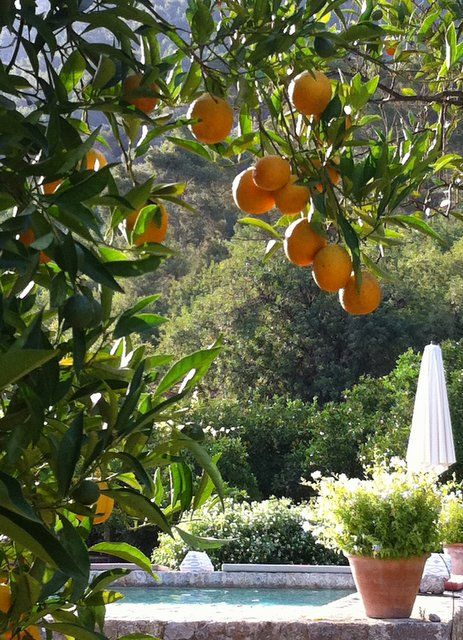 ~Mallorca~ forget whole foods, nothing like getting oranges from a tree~  #mallorcaspain