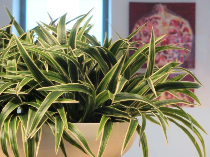 """Een erg """"traditioneel"""" plantje is helemaal hip in een hoogglans witte schaal. Zeker voor op kantoor! www.abonneefleur.nl"""