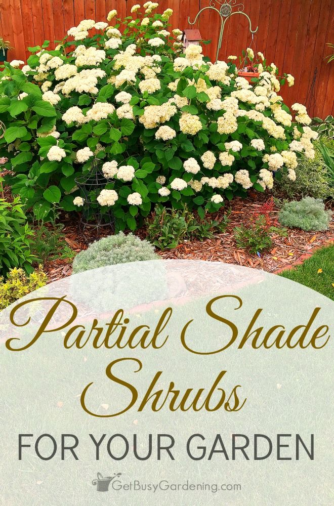 best  shade loving shrubs ideas on   plants for shady, Natural flower