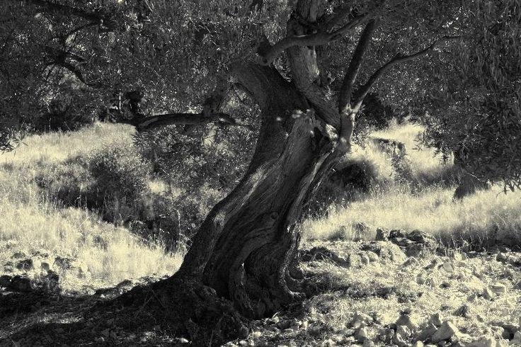 Drzewko oliwne - olive tree