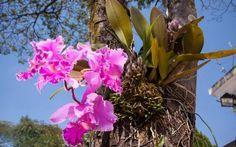 As orquídeas, como boas epífitas, preferem se desenvolver em árvores. É possível amarrá-las nos troncos. Foto: Edu Cesar/Fotoarena