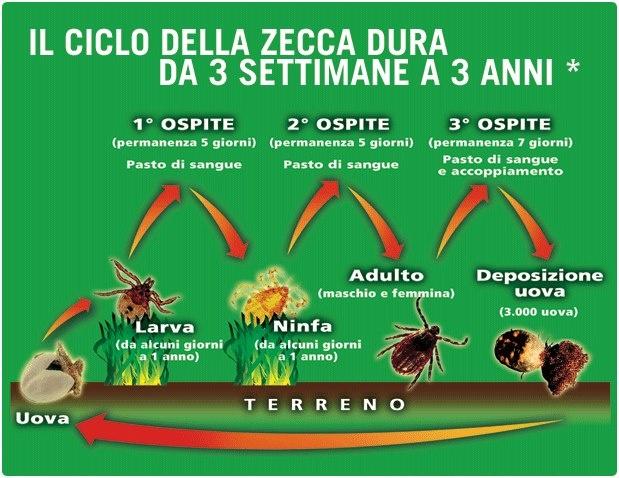 Il ciclo della #zeccha dura da 3 settimane a 3 anni #salute #veterinaria #animali