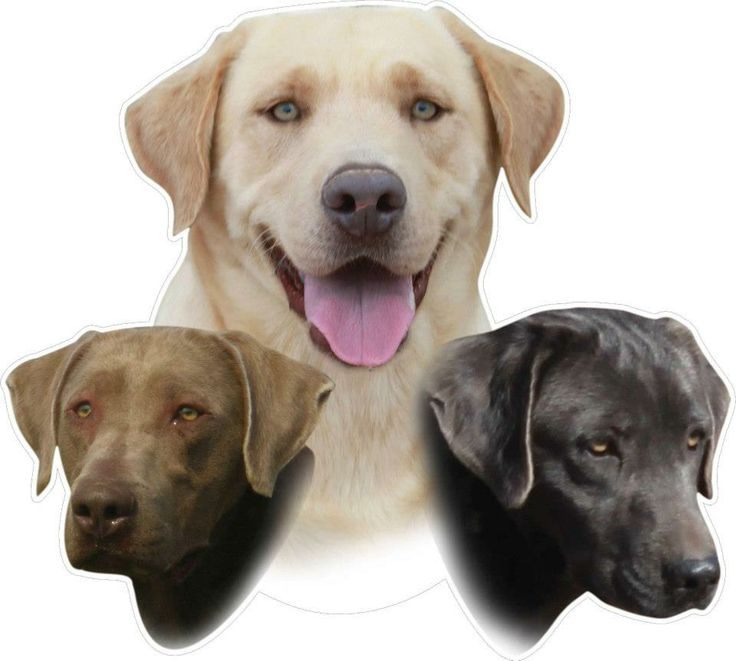32 Best Images About English Labrador Retrievers On Pinterest