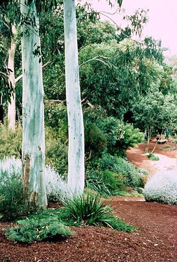 Hoffman walk victoria with the white trunks of eucalyptus for Australian native garden design