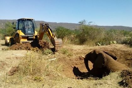 (as it turns out was a young bull, although the call to us expressed concern it was a pregnant female) EWB would like to Thank all those on the ground that worked diligently to ensure his rescue: Haramaya University, Ethiopia Wildlife Conservation Authority and Babile Elephant Sanctuary staff! Job well done!!!!
