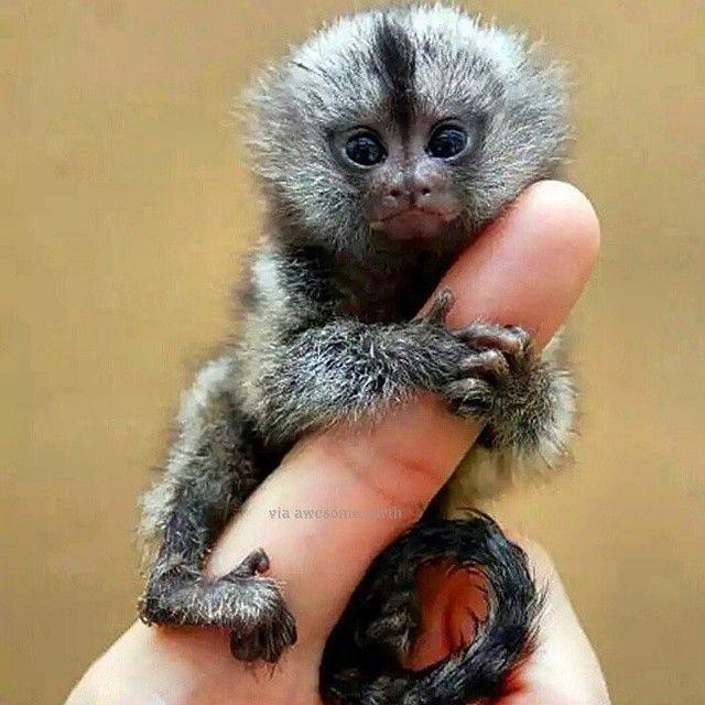 This a Pygmy Marmoset The World's smallest monkey Ecuador ...