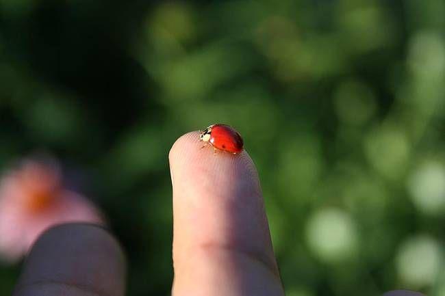 Got ladybugs? Encourage native ladybugs in your garden instead of buying wild-harvested ladybugs to manage pests.