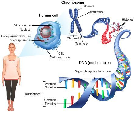 genetics of facioscapulohumeral muscular dystrophy - Google Search