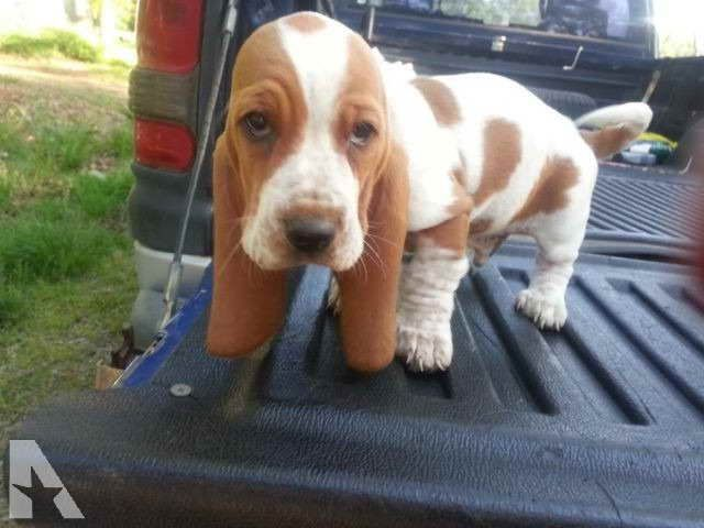 Basset Hound Puppies In Oklahoma Basset Hound Breeders Puppies