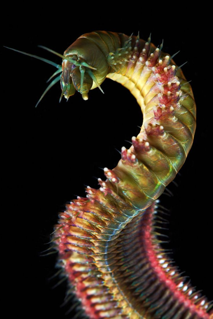 The gorgeous king ragworm is a skilled hunter found in the northern hemisphere. The worm, which can grow over 120 cm long, also uses chemical signals to judge the risk of predation in the area.  -sciencealert