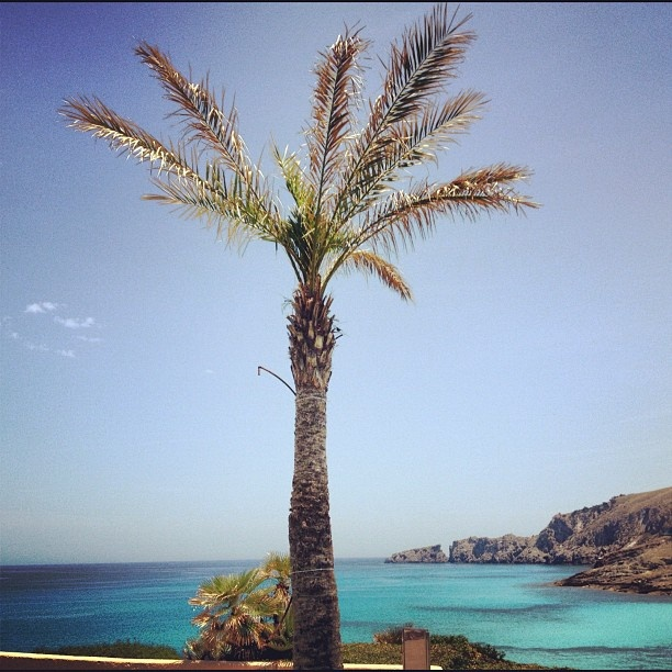 A single #palmtree at the #beach in #mallorca
