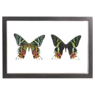 2 Sunset Moths - Topside and Underside....Sooo pretty, I'm buying. Hang above bookshelf
