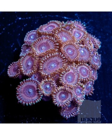 55 best images about Zoanthids/Zoas on Pinterest | Shopping, Forbidden fruit and El diablo