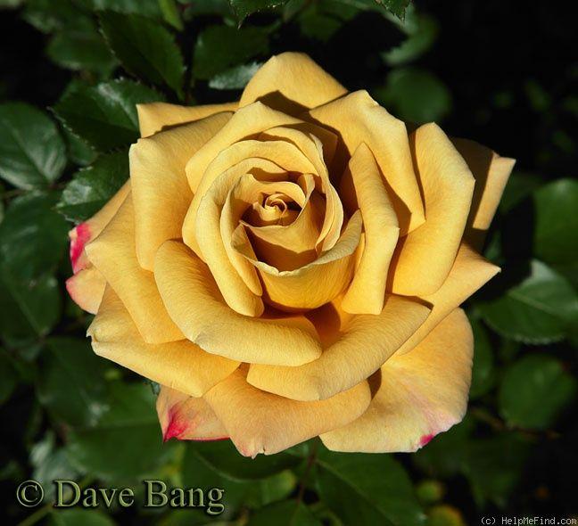 ebb tide розы фото