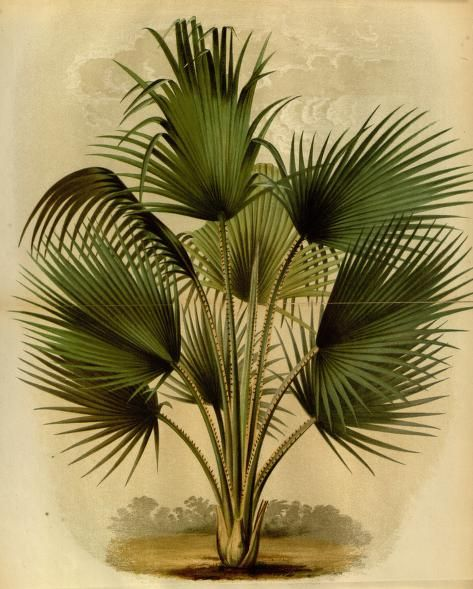 from L'Illustration Horticole, 1875 Vintage - Natural History - Botanical - Scientific - Print - Palm Tree