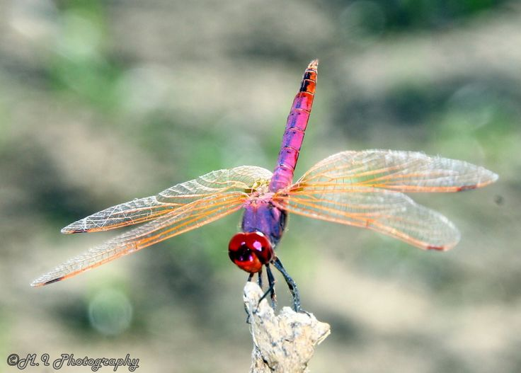 Photograph Odonata by Mohamed Ismael on 500px