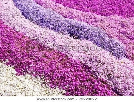 http://2.bp.blogspot.com/-hyd0erEEbJ8/TygSssHtanI/AAAAAAAAHP8/kqotl8ocbTs/s1600/Phlox_flowers%2B%25285%2529.jpg