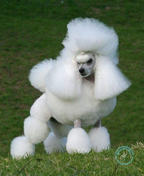 Miniature poodle opawz.com  supply pet hair dye,pet hair chalk,pet perfume,pet shampoo,spa....