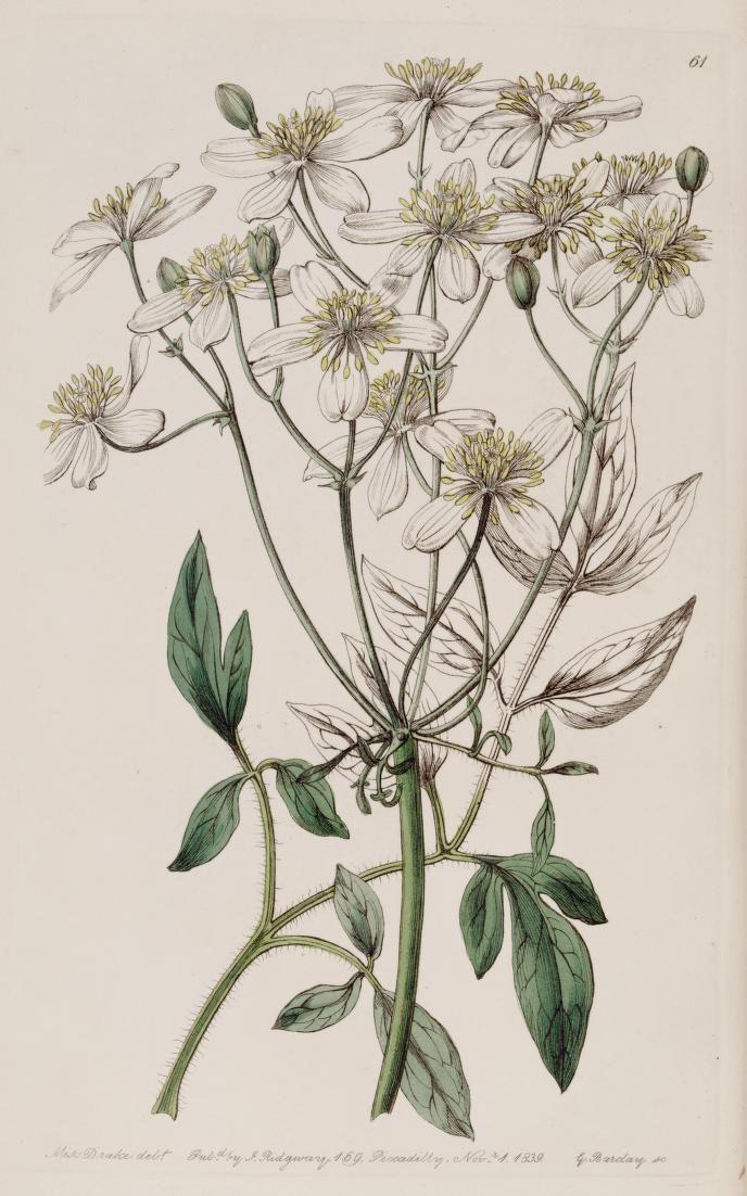 v. 25 (1839) - Edwards's botanical register. - Biodiversity Heritage Library - Clematis