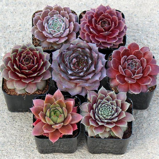 Infographic Ideas infographics sedums for sale : 1000+ images about Succulents on Pinterest | Sun, Trays and Plants