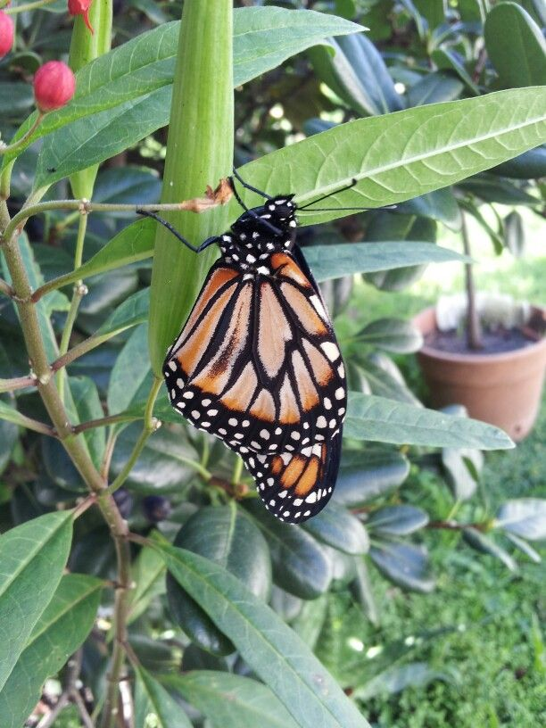 Mariposa monarca recién salida de crisálida