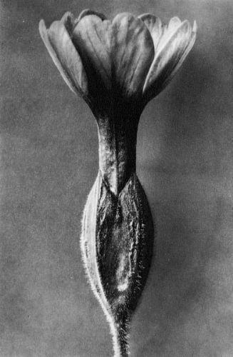 Karl Blossfeldt, Primula veris, Cowslip primrose