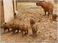Capybara- giant rodent. WOW. Never heard of this before today. I want one. $400 in Texas. Roadtrip, anyone?