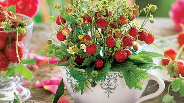 Namiesto kvetov posaďte do črepníka sadenicu balkónovej jahody.