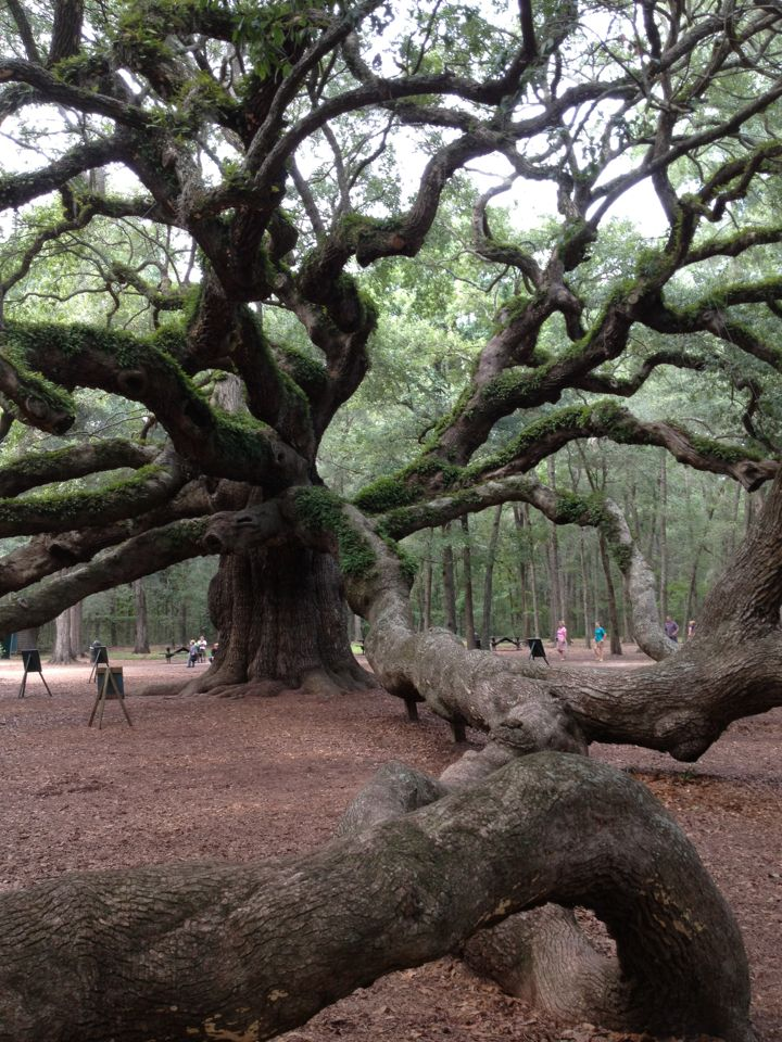 Angel Oak on John's Island near Charleston SC....absolutely worth seeing, one of the hi lights of our trip.
