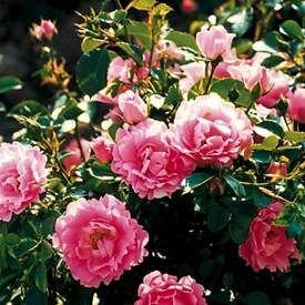 Marktäckande ros 'The Fairy'