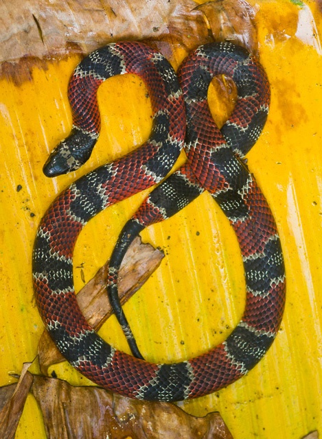 a cool false coral snake in costa rica animal stories pinterest in coral and snakes. Black Bedroom Furniture Sets. Home Design Ideas