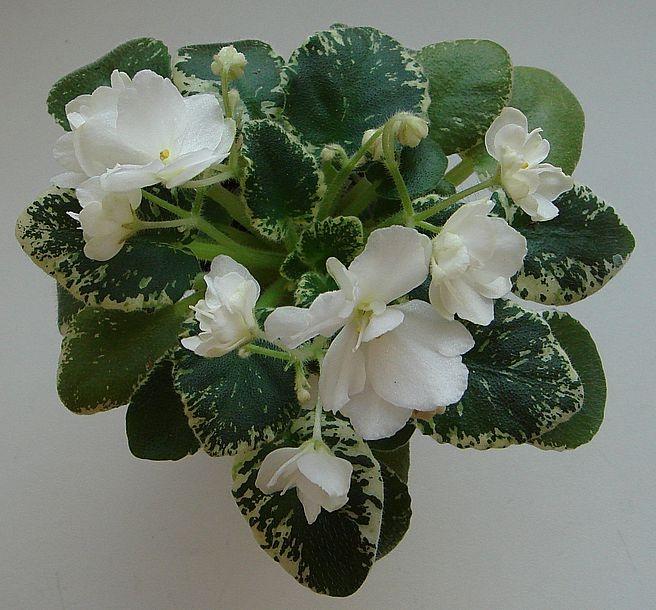 De 551 bästa Plants | African Violets-bilderna på ...